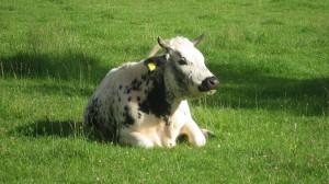 Diese Kuh gibt's nur im Gadertal