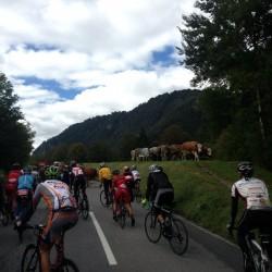Endura Alpen Traum 2014: Kuhstopp